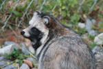 Raccoon Dog #3 by xXDropInTheOceanXx