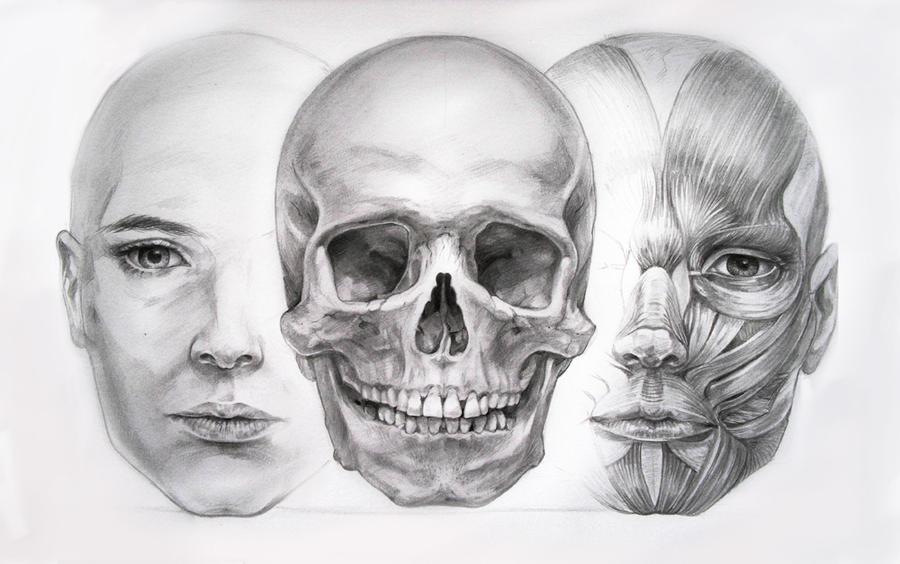 Human Face Anatomy Drawing Dinocrofo