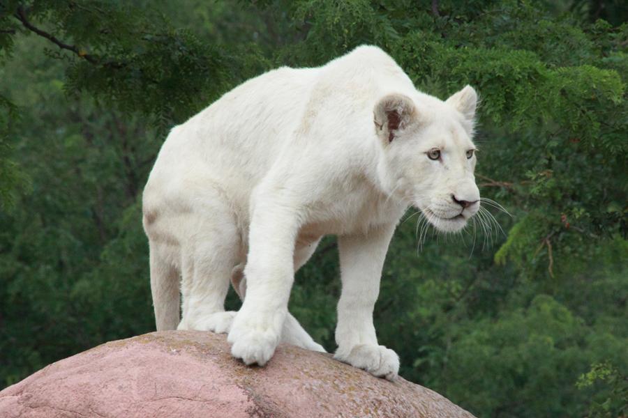 white lion by stirk bostaurus d5hvnxy - White lion