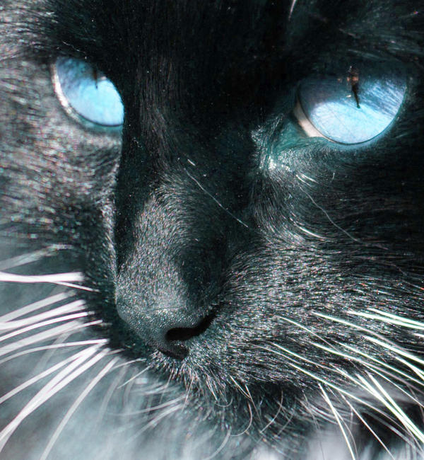 White Brown Cat Blue Eyes
