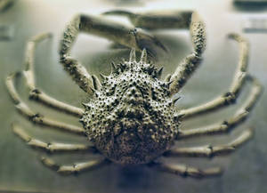 just crab