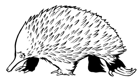 photo gallery of spiny anteater drawing