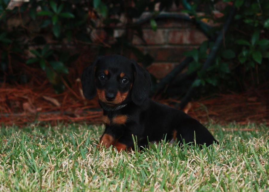 Handsome Dachshund Puppy by Viria26