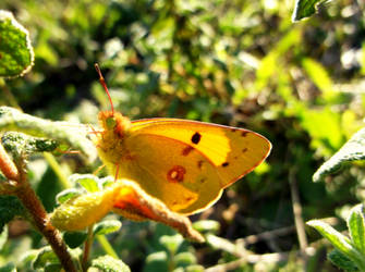 Yellow clouded butterfly! by ZoevanRumt