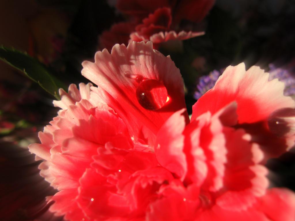 Carnation drop! by ZoevanRumt