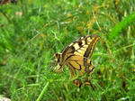 Giant swallowtail! by ZoevanRumt