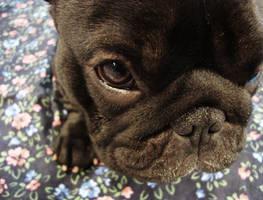 French Bulldog by Session-Bang