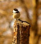 Chickadee in the wind by AllorNOn