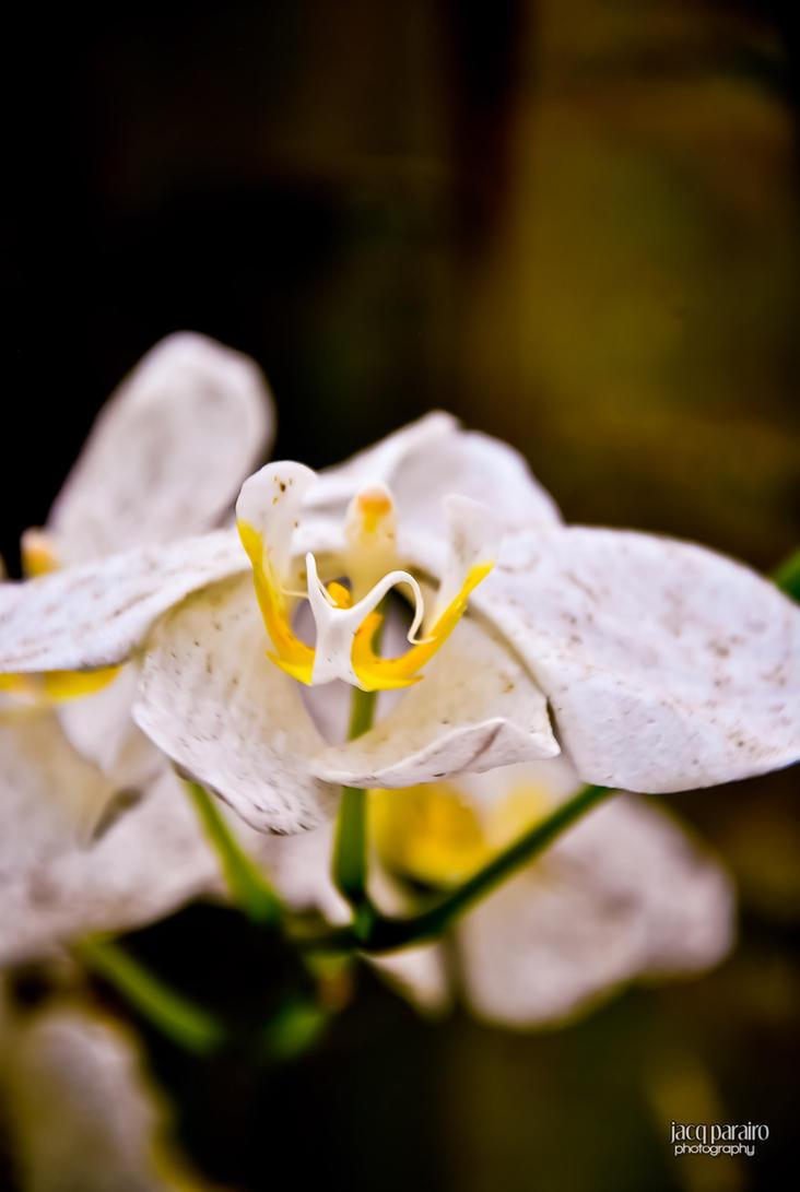 Balinsasayaw Orchid by isangkilongkamera