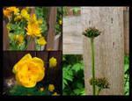 Floral Calendar - Globe Flower