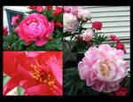 Floral Calendar - Peonies