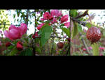 Floral Calendar - Crab Apple