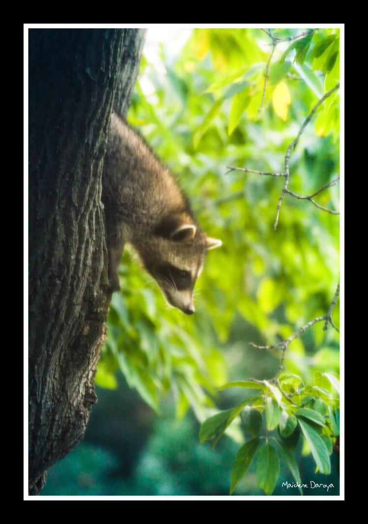 raccoon by built-wid-in