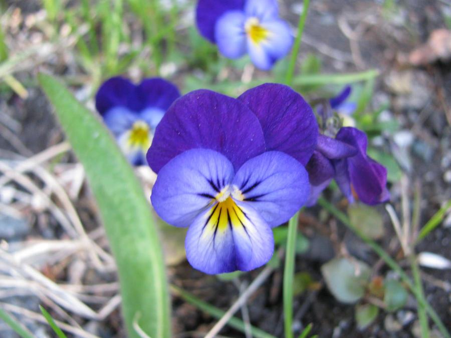 Blue flower yellow center 4 by atlantis devil on deviantart blue flower yellow center 4 by atlantis devil mightylinksfo