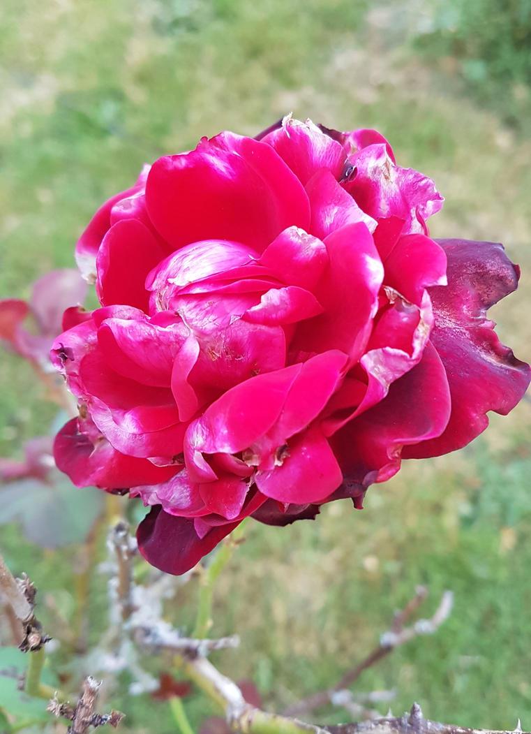 Rose by Shakkarim