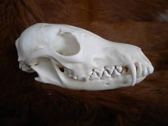 Wild Red Fox Skull Stock