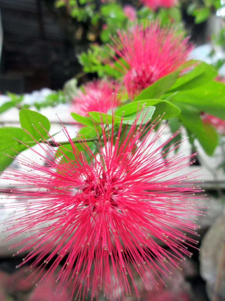 Red Spiky Flower Callistemon By Beriphotos On Deviantart