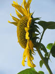Sunflower by beriphotos