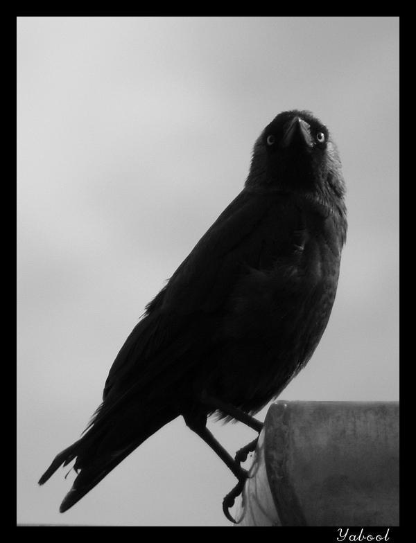 Crow by Yabool