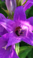 The bee in the bellflower
