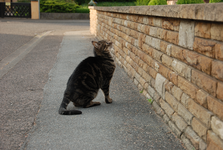 tabby cat stock v2 by LimeStock