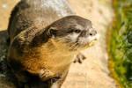 Otter focus.