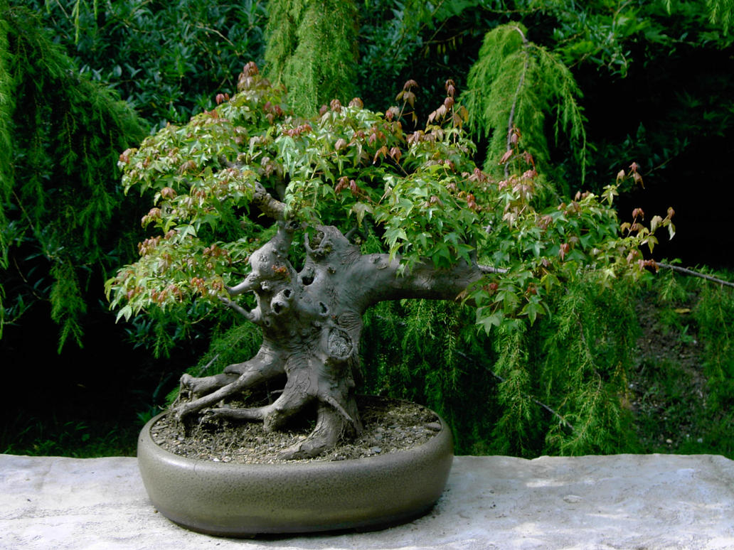 Bonsai taringa for Tierra para bonsais