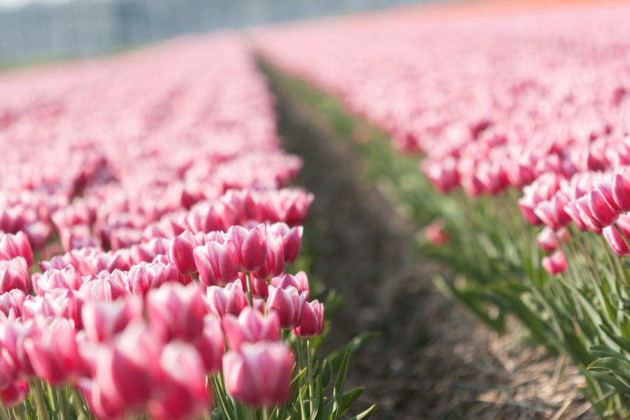 a field with lovely tulips.