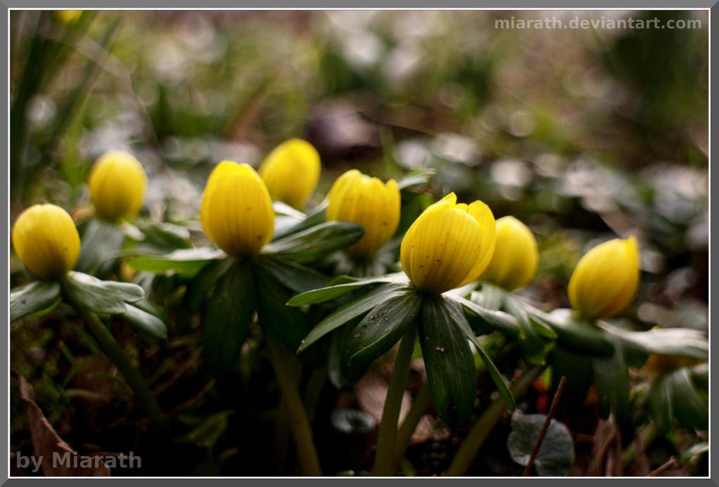 Winterlinge by Miarath