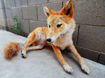 Poseable Red Coyote Softmount (For Sale)