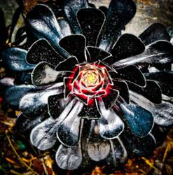 Aeonium Bloom by BioSnailPoker