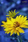 yellow-blue by bergol