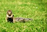 Squirrel by Kirtan-3d