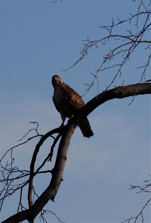 Hawk in Central Park by WickedPotter84