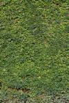 Ivy Texture - 6