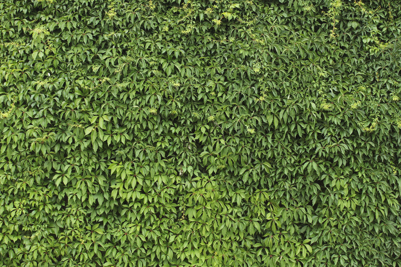 Dark Green Ivy Shaped Leaves With Black Ring In Middle