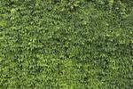 Ivy Texture - 7