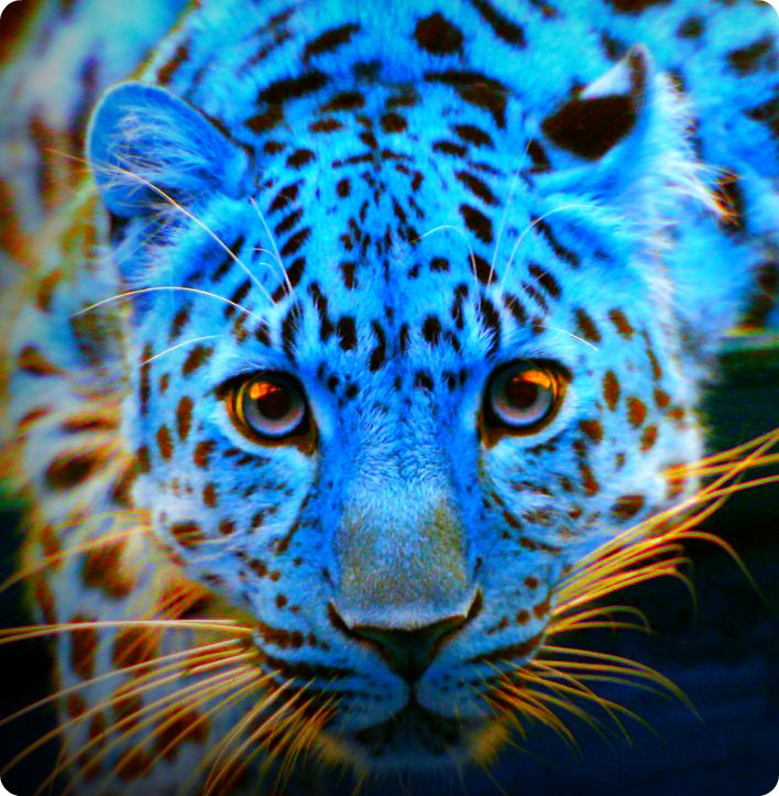Blue Leopard By Leopardsixteen On Deviantart