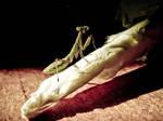 Mantis in light