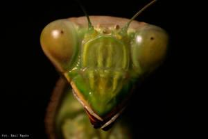 portrait of a praying mantis by Ysgith