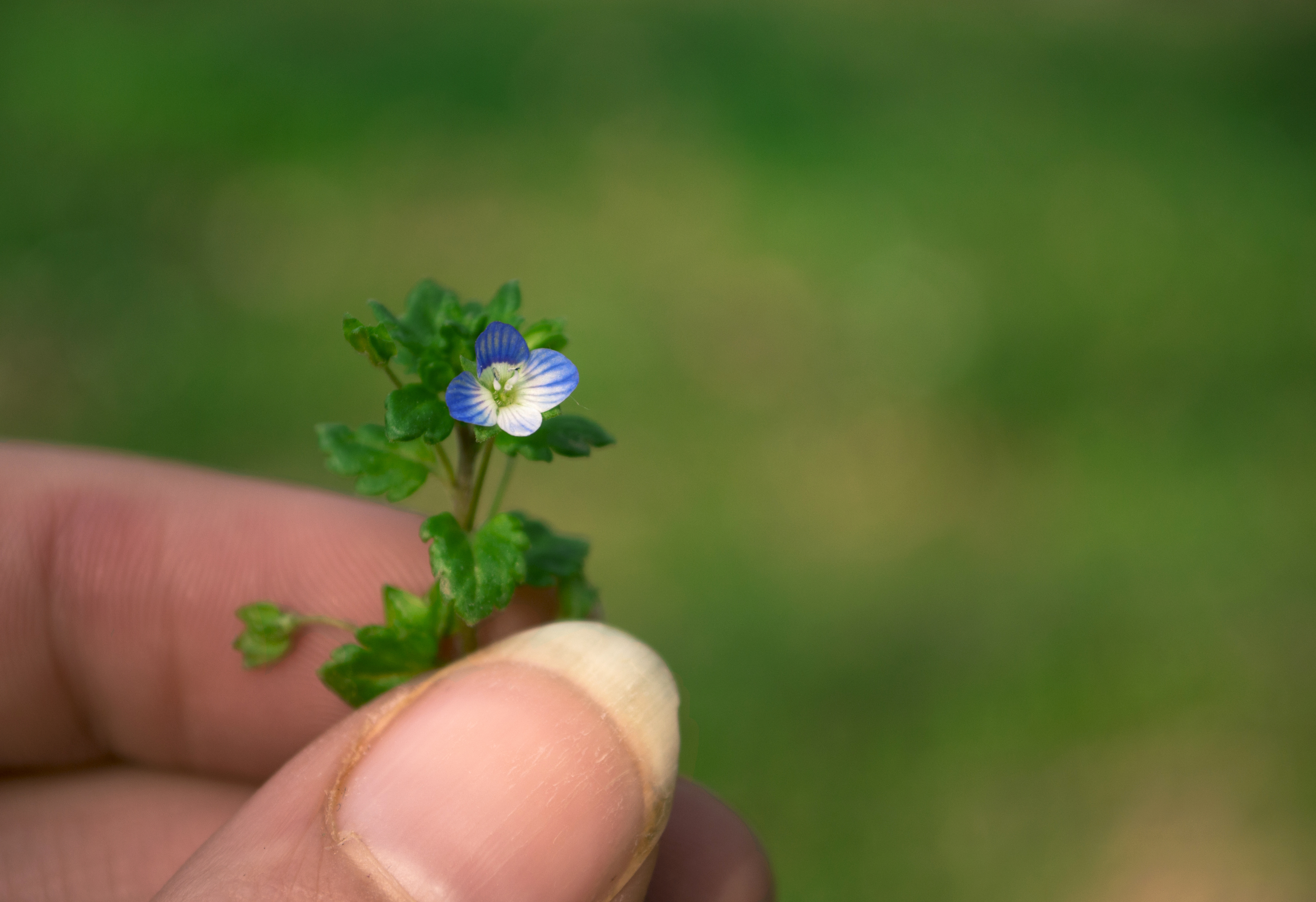 Tiny Blue Flower 1 By Hollys Critters On Deviantart