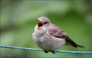 Spotted flycatcher by Loneiris