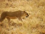 Lion Prowl