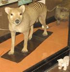 Rothchild Thylacine 1