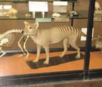 Rothchild Thylacine 2