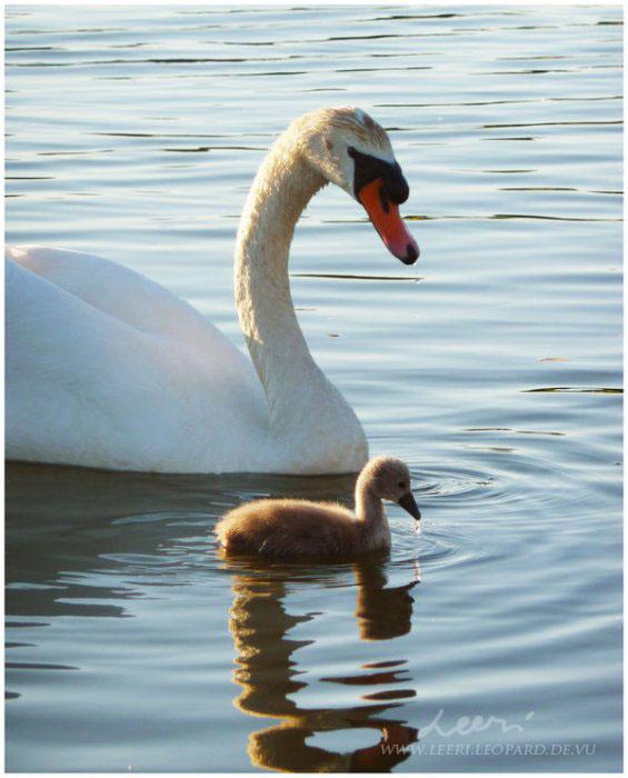 Swan Song by leeri