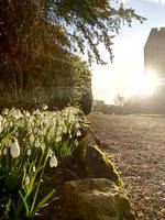 Snowdrops at Sizergh Castle by MontyMouse