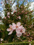 Plum Blossom by MontyMouse