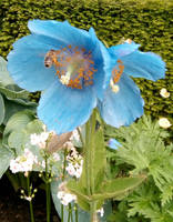 Himalayan Blue Poppies by MontyMouse