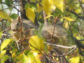 Douglas Squirrel in Pear Tree